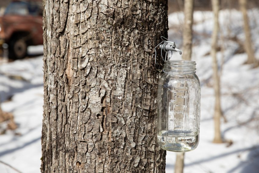 maple sap dripping from tap into a half gallon mason jar