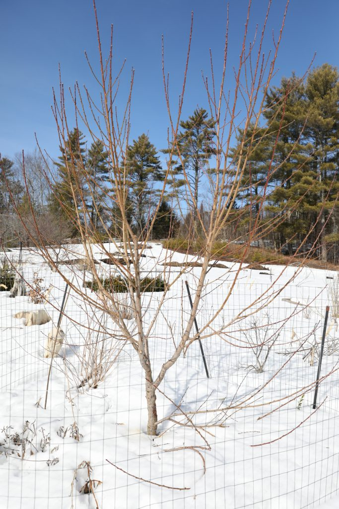young peach tree ready for winter pruning