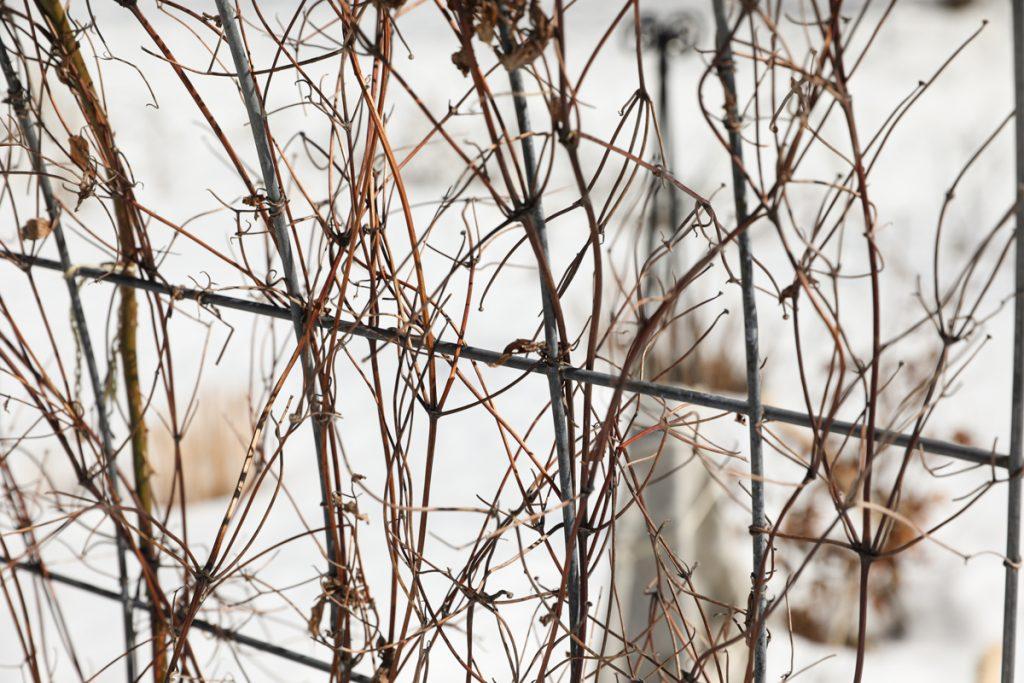 brown clematis vine in winter on trellis