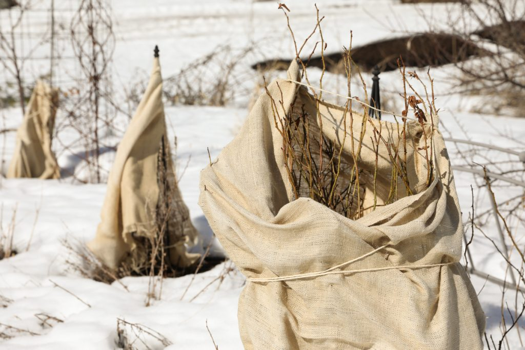 burlap wrapped rose bushes in a garden with snow on the ground